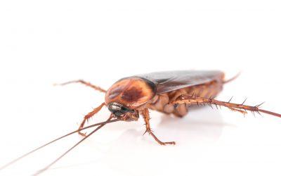 ¿Cucarachas en casa? Te contamos cómo eliminarlas.