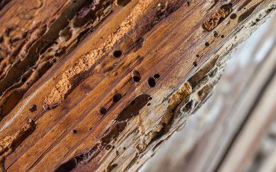¿Qué diferencias hay entre termitas y carcoma?
